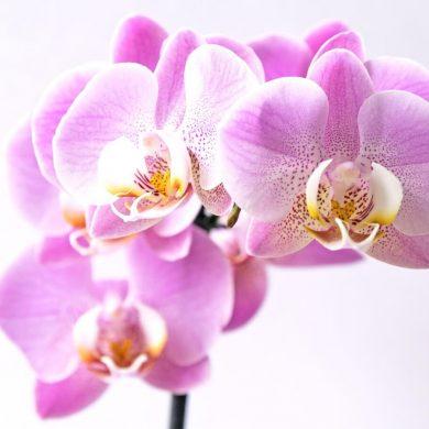 5 chýb (ne)skúsených pestovateľov orchideí