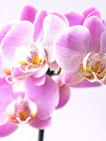 Miért nem virágzik az orchidea?