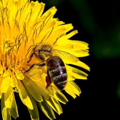 Pripravte si vlastný púpavový med