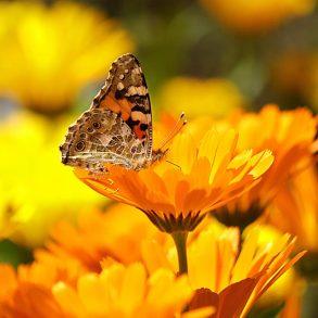 Körömvirág, nagyanyáink gyógynövénye