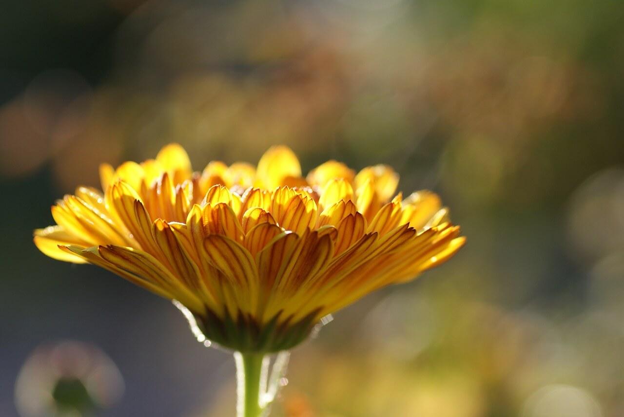 Kvety nechtíka sú jedlé