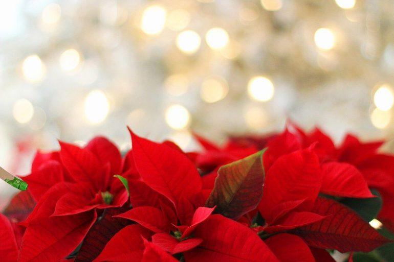 Karácsonyi rózsa