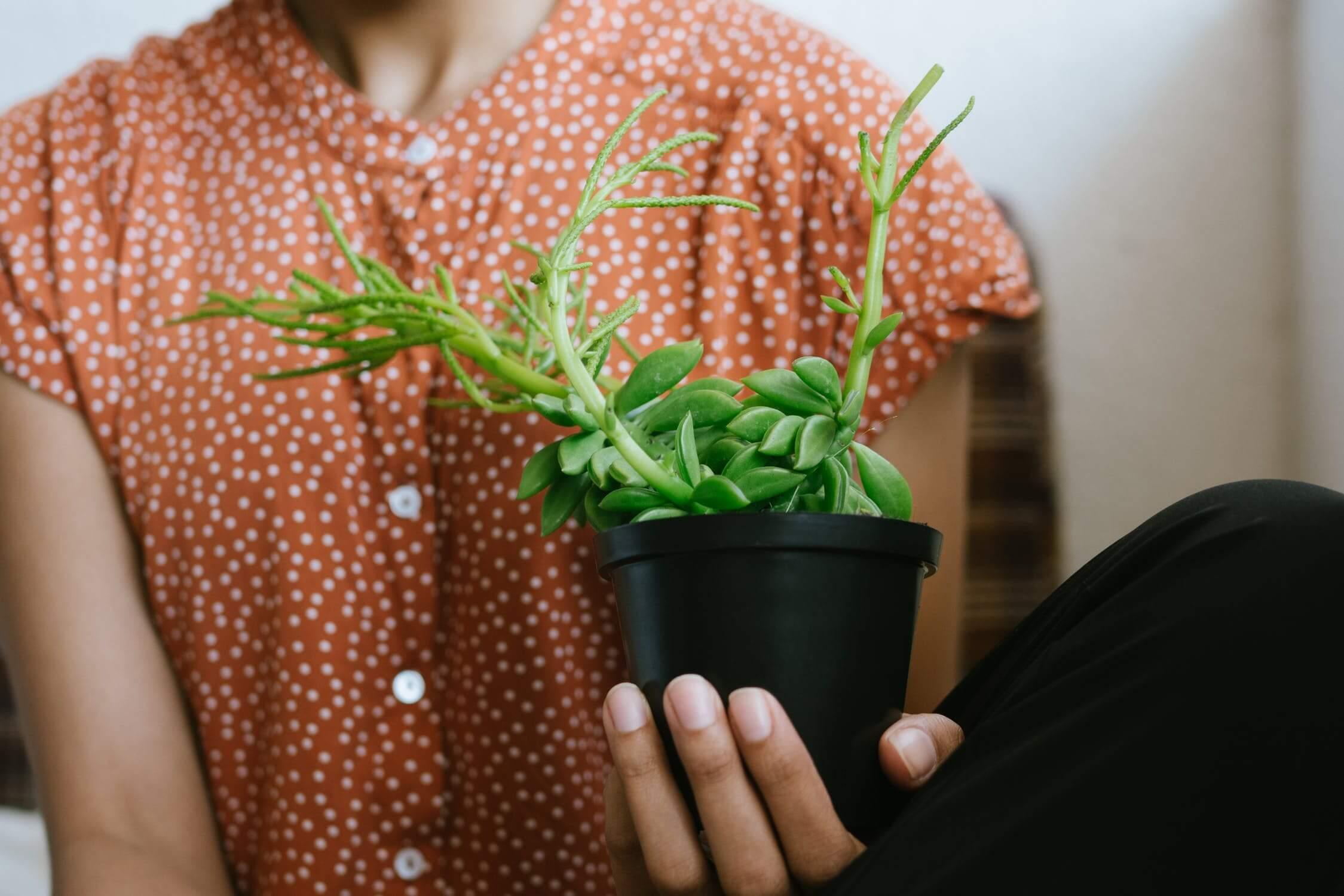 Väčšina druhov izbových rastlín preferuje hnojenie priamo do substrátu