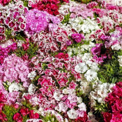 Ce fel de flori să cultivați pe balcon