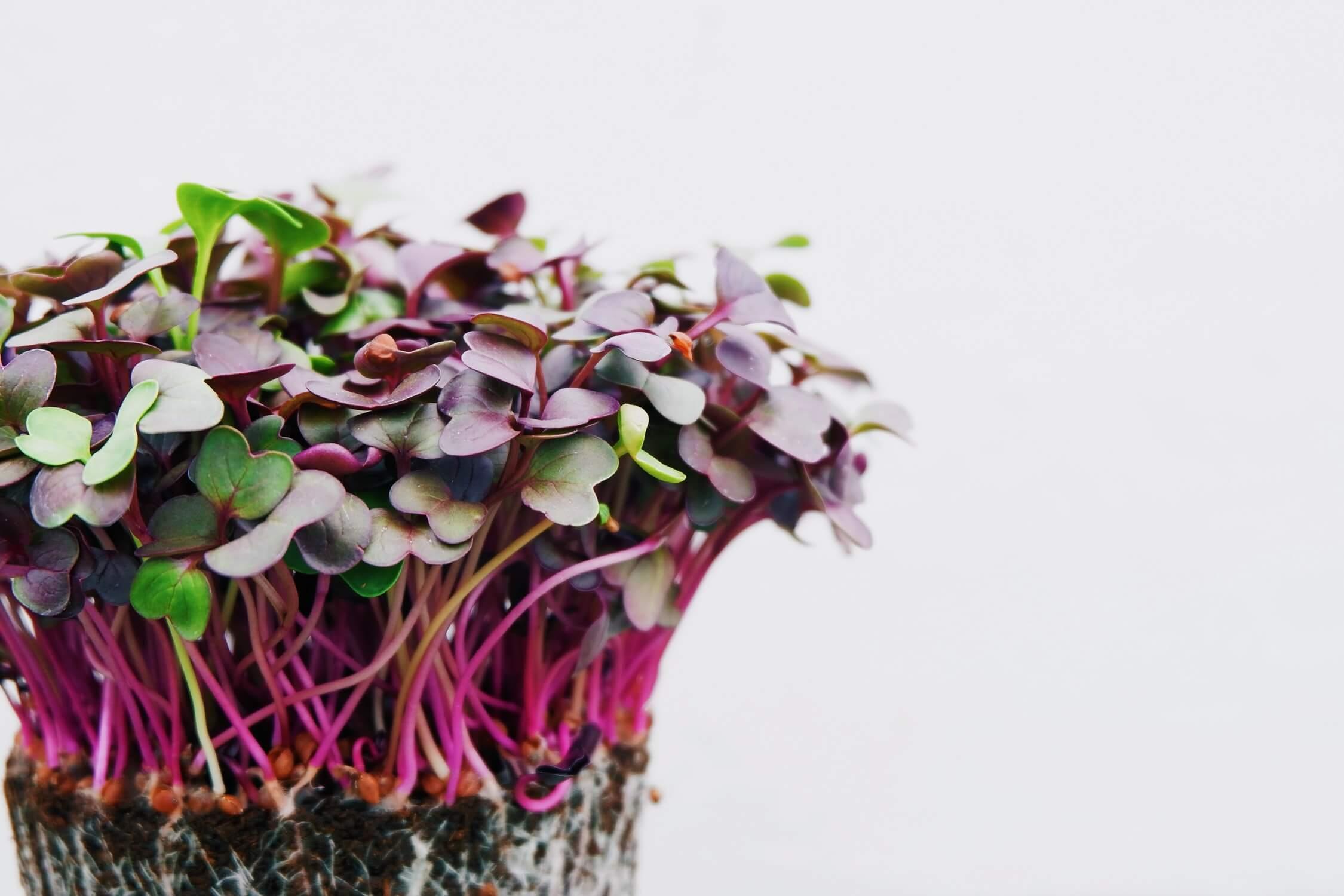 Používajte semienka určené na klíčenie a konzumovanie