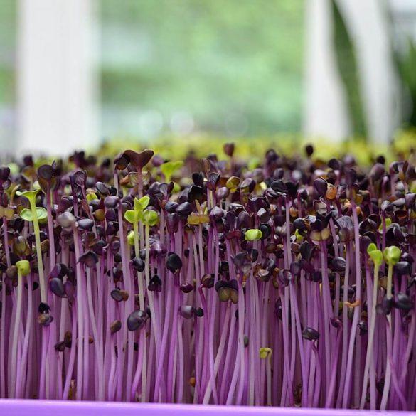 Microgreens-t termesztünk