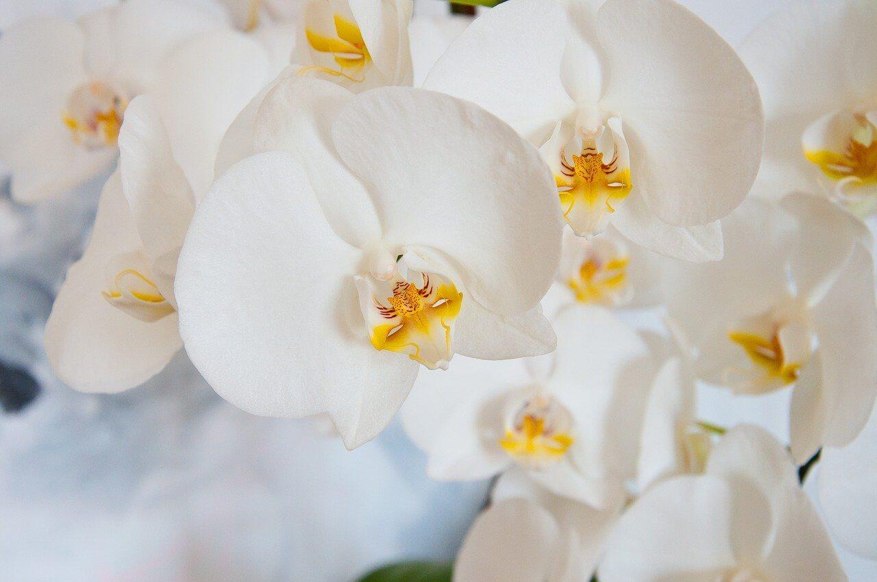 Ako správne zalievať orchideu