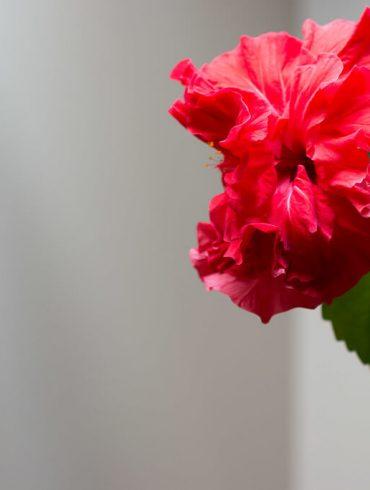 Ako sa starať o čínsku ružu, aby kvitla?