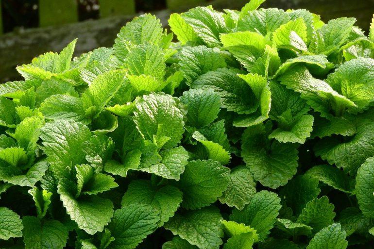 Rastliny ako repelent proti komárom