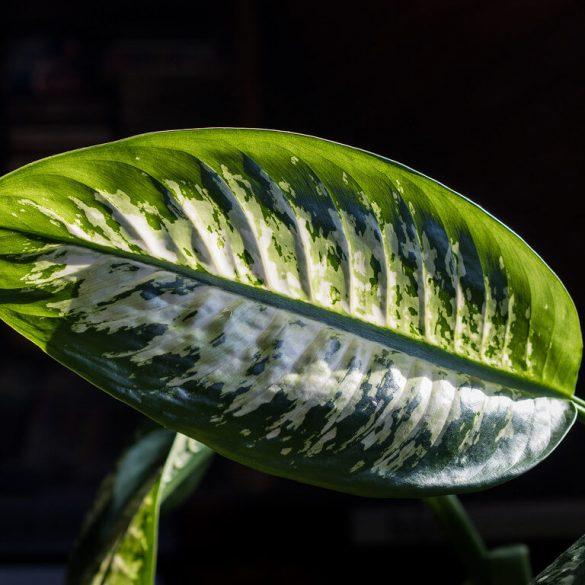 Ezek a szobanövények az árnyékba tartoznak