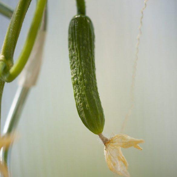Mire vigyázzunk az uborkatermesztéskor