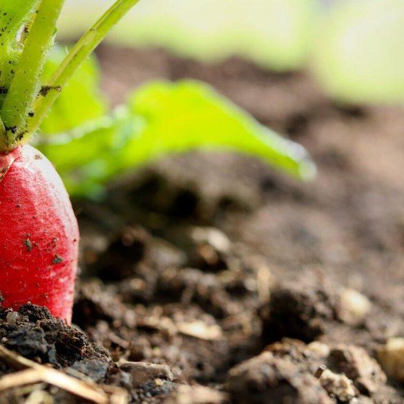 Ce legume merită semănate în august?