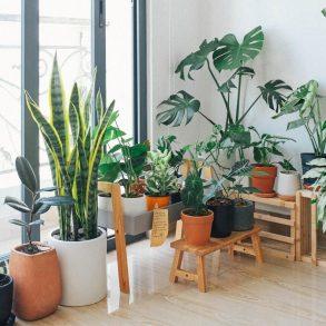 Plantele de cameră parcă zămislite pentru stilul scandinav