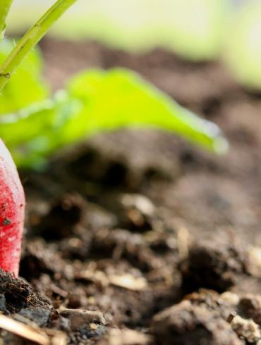 Ktorú zeleninu sa oplatí vysadiť v auguste?