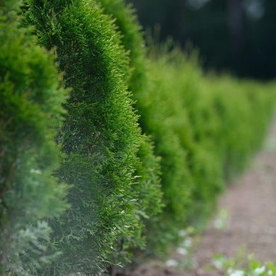 Kedy a ako rezať živý plot?