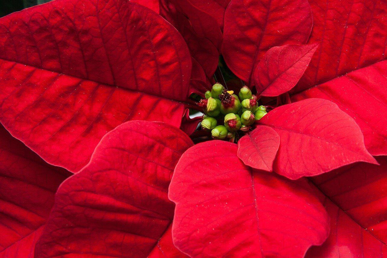 čo robiť, aby vianočná ruža opäť kvitla