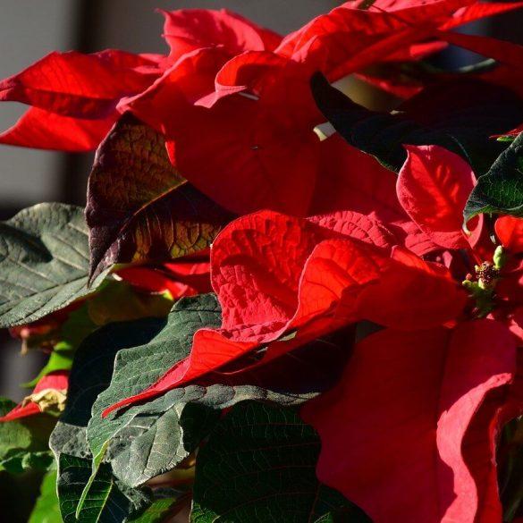 Vianočná ruža vydrží celý rok