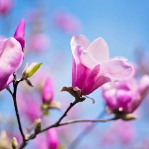 Magnólia – a tavasz hírnöke