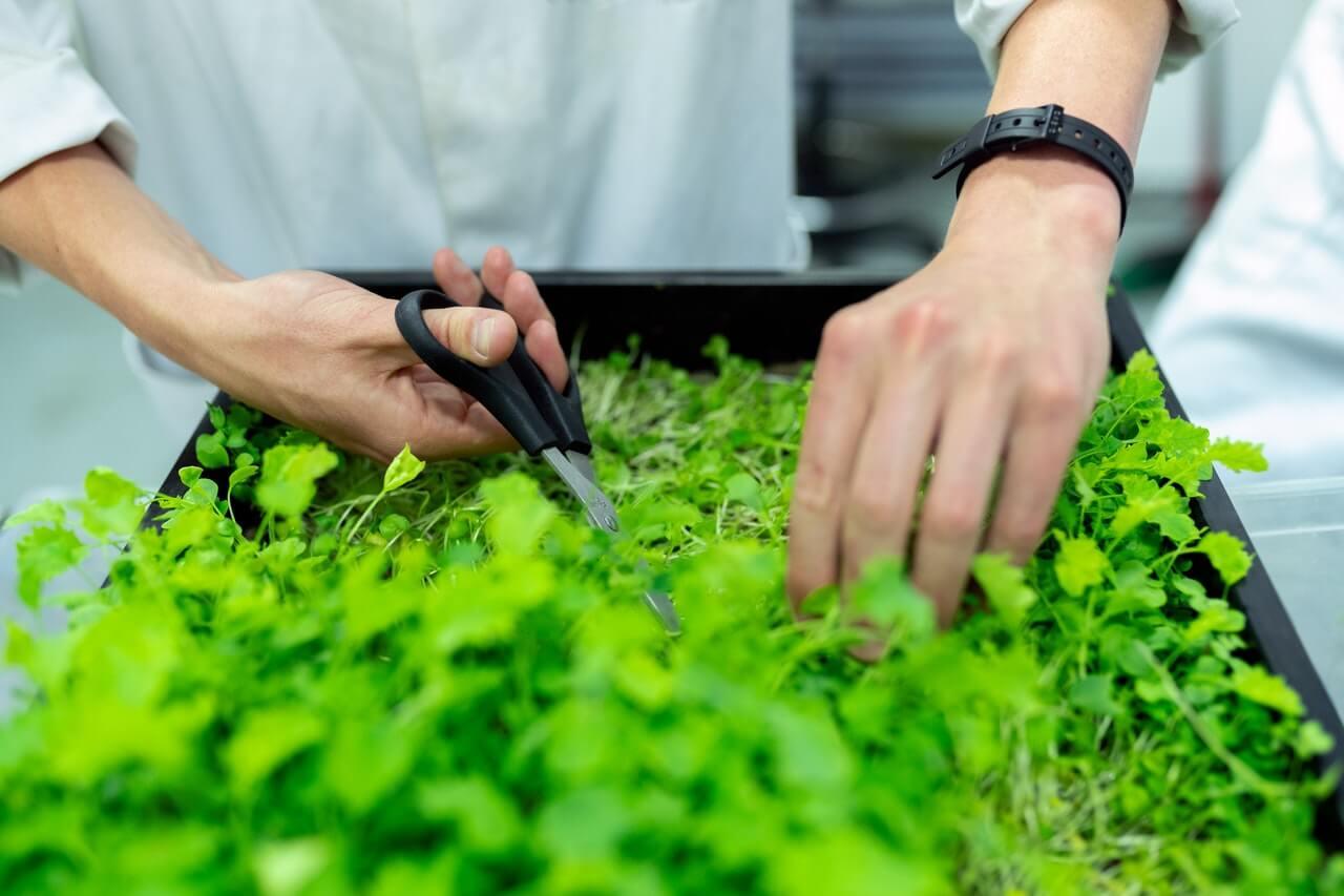 Bylinky väčšinou vyžadujú pravidelný rez, aby rástli kompaktne.